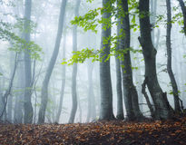 Mysterious dark old forest in fog. Autumn morning in Crimea Royalty Free Stock Images