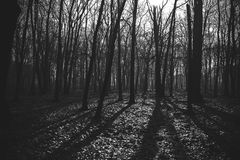 Mysterious dark old forest in fog, black and white Royalty Free Stock Photos