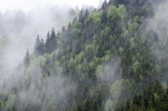 Mysterious fir trees forest in mist after the rain. In Transylvania`s mountains, in Romania Royalty Free Stock Photo