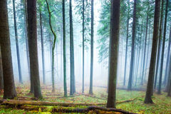 Mysterious fog in the green forest Stock Image