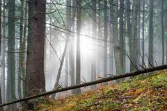 Mysterious fog in the green forest Royalty Free Stock Image