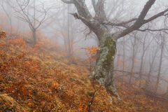 Mysterious foggy autumn forest. On the mountain slope Royalty Free Stock Image