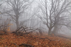 Mysterious foggy autumn forest Stock Photography