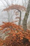 Mysterious foggy autumn forestt Stock Image
