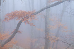 Mysterious foggy autumn forestt Stock Photography