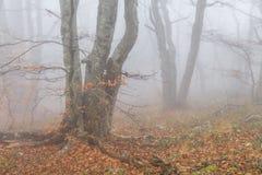 Mysterious foggy autumn forestt Royalty Free Stock Photo