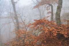 Mysterious foggy autumn forestt Stock Images