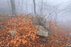 Mysterious foggy autumn forestt Royalty Free Stock Images