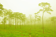 Mysterious foggy forest Royalty Free Stock Photos