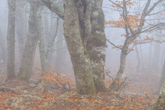 Mysterious foggy  forest Stock Images