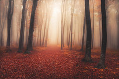 Mysterious foggy forest with a fairytale look royalty free stock images