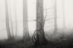 Mysterious foggy forest with old trees Stock Photo