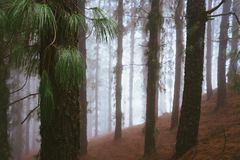Mysterious foggy pine forest. Rainy and misty weather near Cova crater on Santo Antao Island, Cape Verde.  stock photos