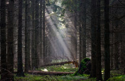 Mysterious forest Royalty Free Stock Image