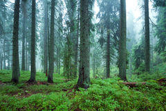 Mysterious forest. In the fog Stock Images
