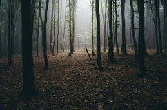 Mysterious forest with fog Stock Photo