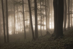 Mysterious forest with fog and light. In the background Royalty Free Stock Photo