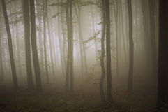 Mysterious forest with fog trough trees Stock Photos
