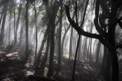 Mysterious Forest. Molokai forest shrouded in a blanket of fog Royalty Free Stock Photos