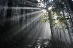 Mysterious forest. Morning sunrays in a dark forest Stock Images