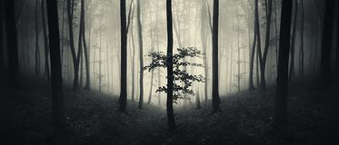 Forest panorama with mysterious fog and light. Mysterious forest panorama. Halloween forest panorama with mysterious dark atmosphere and fog royalty free stock image