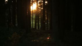 Mysterious forest in the sun, romantic sunset and crop canopy stock video footage