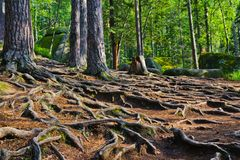 Mysterious green forest, huge tree roots interweave on the ground royalty free stock photo