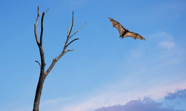 Mysterious Halloween background with flying fruit fox. Dead Trees with flying fox Halloween concept Stock Images