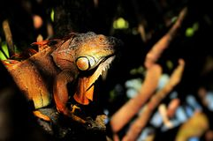 Mysterious iguana Stock Photography