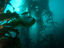 Mysterious Kelp Forest Royalty Free Stock Photography