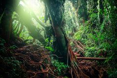Mysterious landscape of foggy forest. Roots of exotic trees, thicket of shrubs and ferns against sunlight breaking through dense foliage on background. Fantasy Royalty Free Stock Images