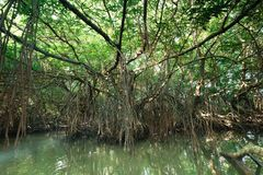 Mysterious landscape of mangrove rain forest. Sri Lanka Royalty Free Stock Images