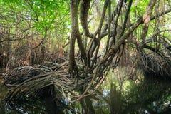 Mysterious landscape of mangrove rain forest. Sri Lanka Stock Image