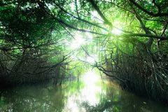 Mysterious landscape of mangrove rain forest. Sri Lanka Royalty Free Stock Photos