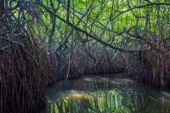 Mysterious mangrove forest, Madu Ganga, Sri Lanka Royalty Free Stock Photography