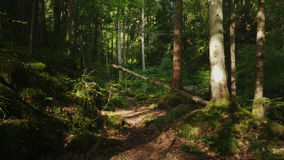 The mysterious morning forest, the fallen tree was covered with moss. Beautiful game of light and shadow. POV video. The mysterious morning forest, the fallen stock footage