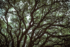 Mysterious oak branches in Monte Arci Royalty Free Stock Photography