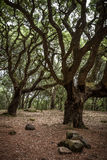Mysterious oaks in Monte Arci Stock Images