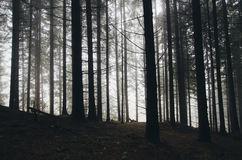 Mysterious pine tree forest with fog Royalty Free Stock Photos