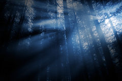 Mysterious pine wood Royalty Free Stock Photo