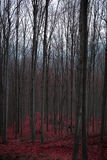 Mysterious red forest in Western Serbia. Mysterious long trees in the red forest in Western Serbia Stock Photo