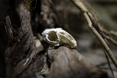 White skull of a small animal royalty free stock images