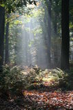 Mysterious sunlight in a dutch forest Royalty Free Stock Photography