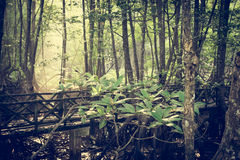 Mysterious swamp forest. Under sunlight in the morning Royalty Free Stock Photo