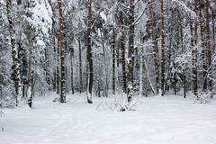 White Fairy Tale - Winter Forest Landscape and Snow - 6. Mysterious tale of snow and winter trees. Beautiful forest landscape of untouched nature royalty free stock photo