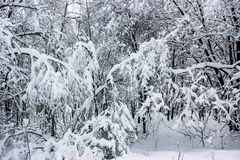 White Fairy Tale - Winter Forest Landscape and Snow - 7. Mysterious tale of snow and winter trees. Beautiful forest landscape of untouched nature royalty free stock image
