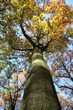 Mysterious Tree. In a dutch forest,autumn Stock Image
