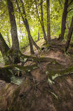 Mysterious tree roots Royalty Free Stock Photography