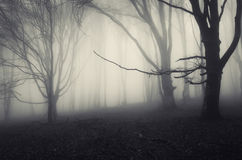 Mysterious trees in haunted forest with fog Royalty Free Stock Photos