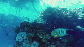 Mysterious underwater world of the tropics. Broomtail Wrasse Fish swim among anchor chains stock footage